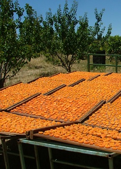 Sulfured dried apricot for export to Turkey